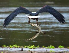 морской орел с нильским крокодилом
