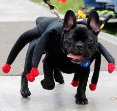собака в костюме паука на показе мод