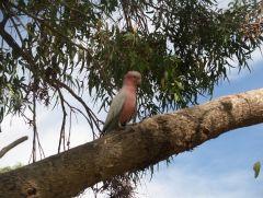 Perth, Australia, parot