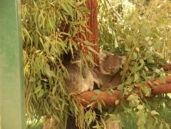 Perth, Australia, Koala