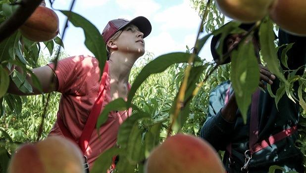 Сбор персиков на Warner's Farm In Beamsville, Ontario, Canada