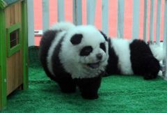 Собаки панды в Китае