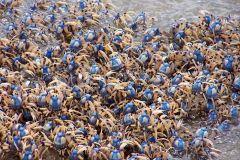 soldier_crabs.jpg