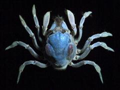 soldier crab.jpg