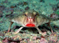 Рыба-мышь