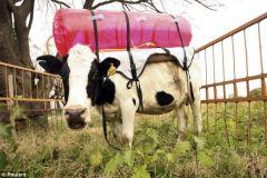 В красном рюкзачке у коровки   метан. Корова сама его же и вырабатывает в процессе пищеварения, сама носит, пока баллон не заполнится.