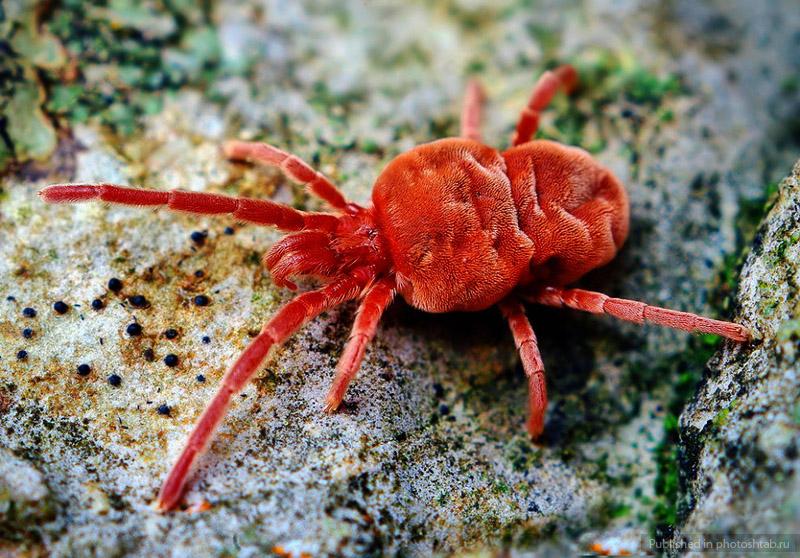 19 опасных для человека существ   Клещ краснотелка. Распространен по всему миру.