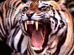 19 опасных для человека существ   тигр
