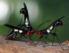 19 опасных для человека существ   Костариканская хальцида, откладывают свои яйца в тела человека. Результат   в вашем теле 400 граммов личинок, уже готовых к превращению во взрослых особей.
