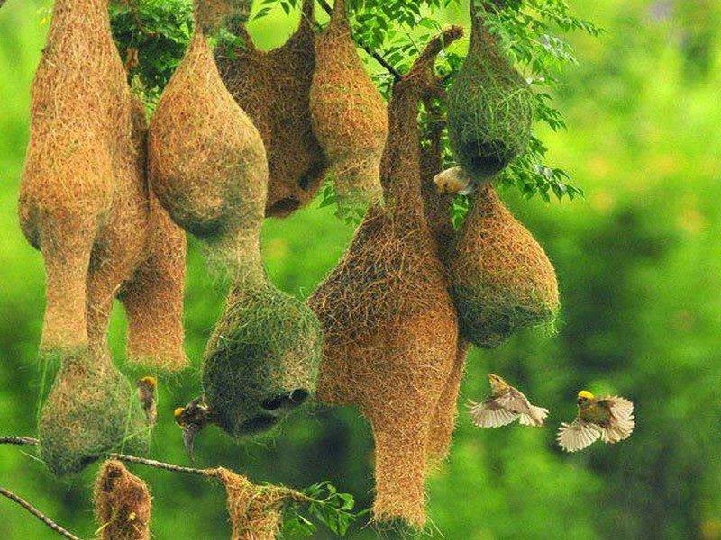 Bengali New Year, традиционный бенгальский праздник Нового года в Бангладеш, дикая жизнь baya weaver bird.jpg