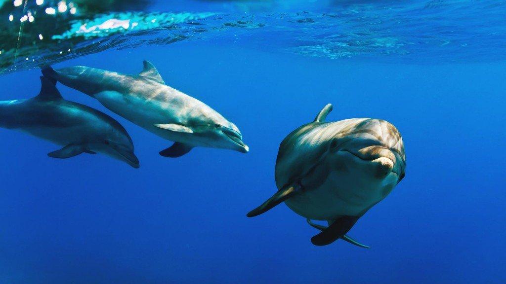 Bengali New Year, традиционный бенгальский праздник Нового года в Бангладеш, дикая жизнь Blue Dolphin.jpg