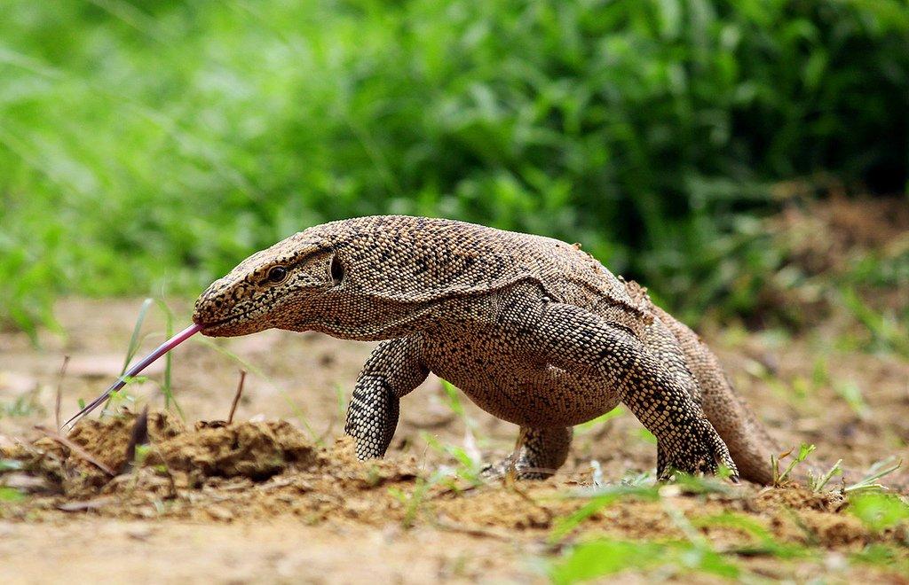 Bengali New Year, традиционный бенгальский праздник Нового года в Бангладеш, дикая жизнь Monitor Lizard.jpg