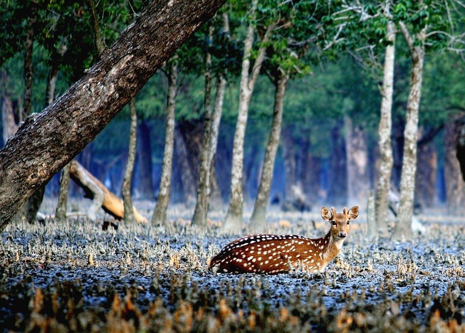Bengali New Year, традиционный бенгальский праздник Нового года в Бангладеш, дикая жизнь sundarban.jpg