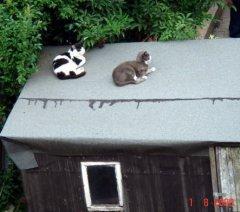 Наши котики в Лондоне   из моего окна в районе Willesden, London