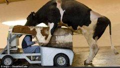 Рабочий в механической корове для добычи спермы быков.jpg