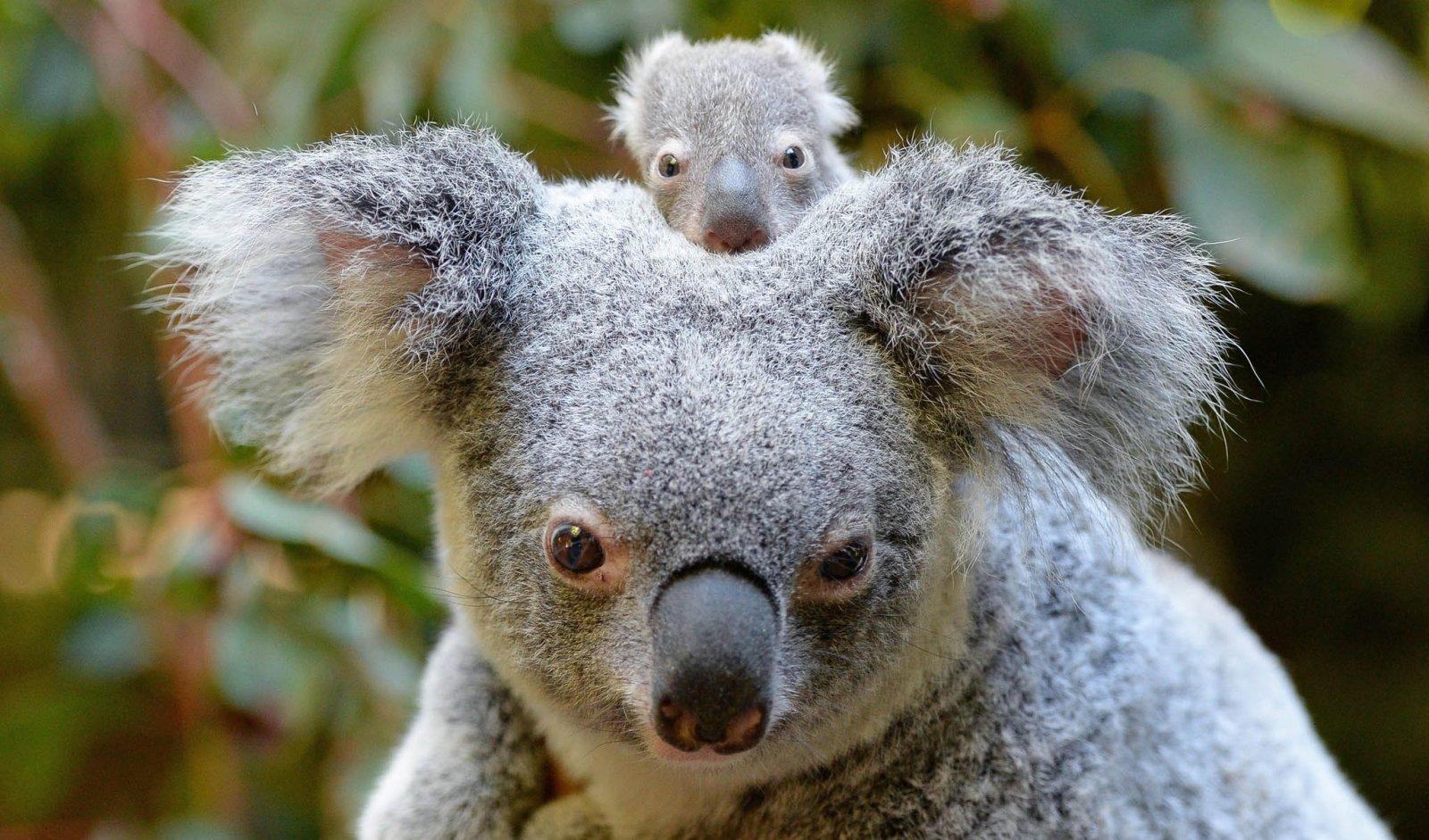 koalas-australia, Babushki letyat v Avstraliyu, rospersonal, otzyvy, Evgeny Matveevich Mikhaylov, Immigration Agent Australia 33f.jpg