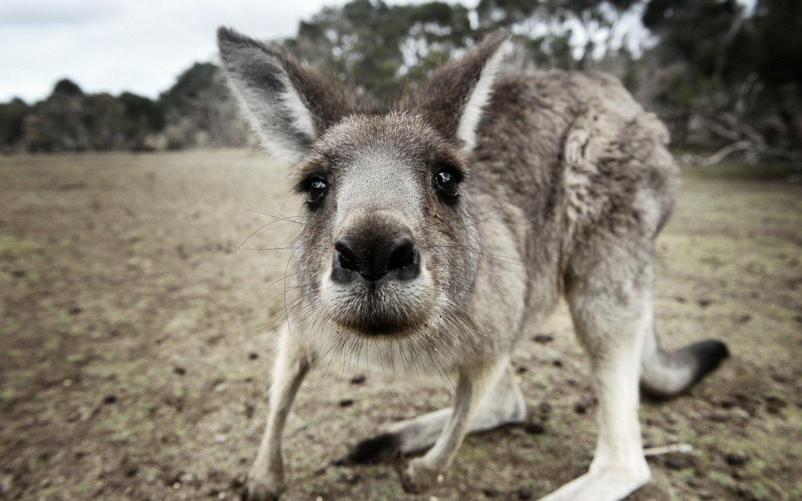 Australian kangaroo, Babushki letyat v Avstraliyu, rospersonal, otzyvy, Evgeny Matveevich Mikhaylov, Immigration Agent Australia 33k.jpg