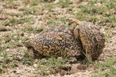 В мире животных - черепахи и любовь.jpg