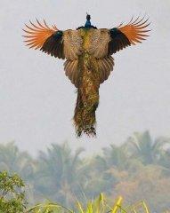 Полёт павлина .jpg