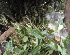 1 Brisbane Koala, Brisbane, immigration Australia, rospersonal, rospersonal otsyvy, Evgeny Matveevich Mikhaylov, Mikhaylov Evgeny Matveevich.jpg