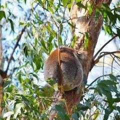 Просто коала.jpg