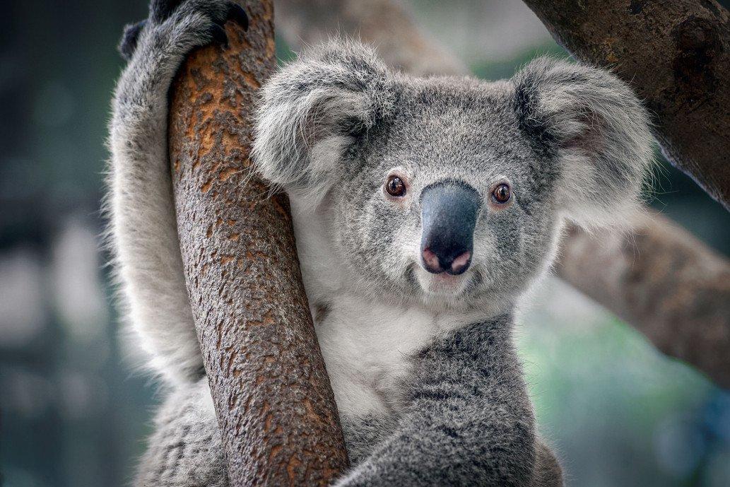 large.2037980919_australia-koala-Austral