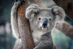 australia-koala-Australian-culture-work-experience-immigration-job-rospersonal-Mikhaylov-Evgeny-Matveevich-Immigration-Agent-Moscow .jpg