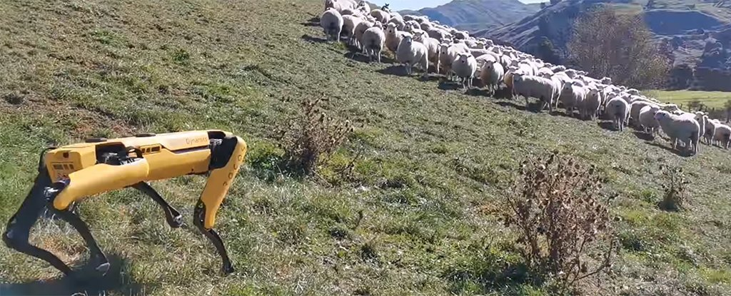 'Robot sheepdog' trained in NZ farm-immigration-job-rospersonal-Mikhaylov-Evgeny-Matveevich-Immigration-Agent-Moscow.jpg