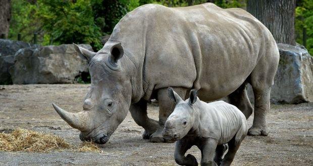 male southern white rhinoceros calf.jpg