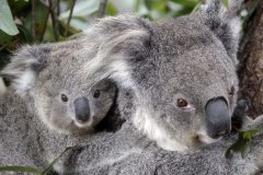 Ms Berejiklian said the deal ensures koalas are protected but also that farmers are not adversely impacted by the policy-visa-news-rospersonal-Mikhaylov-Evgeny-Matveevich-Immigration-Agent-Moscow.jpeg