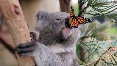 funny-koalas-visa-news-rospersonal-Mikhaylov-Evgeny-Matveevich-Immigration-Agent-Moscow.jpeg