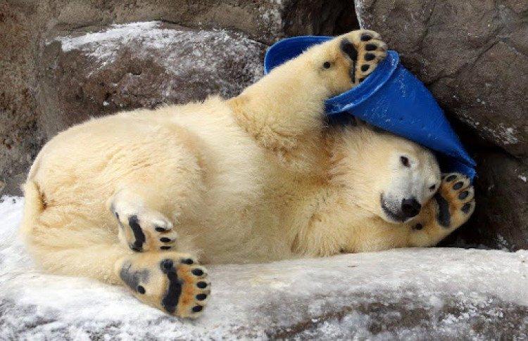 large.Polar-bear-Wrangel-Moscow-Zoo-has-