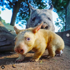 ellow wombat was born at the Australian zoo2-visa-news-rospersonal-Mikhaylov-Evgeny-Matveevich-Immigration-Agent-Moscow.png